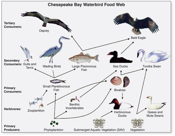 Chesapeake_Waterbird_Food_Web